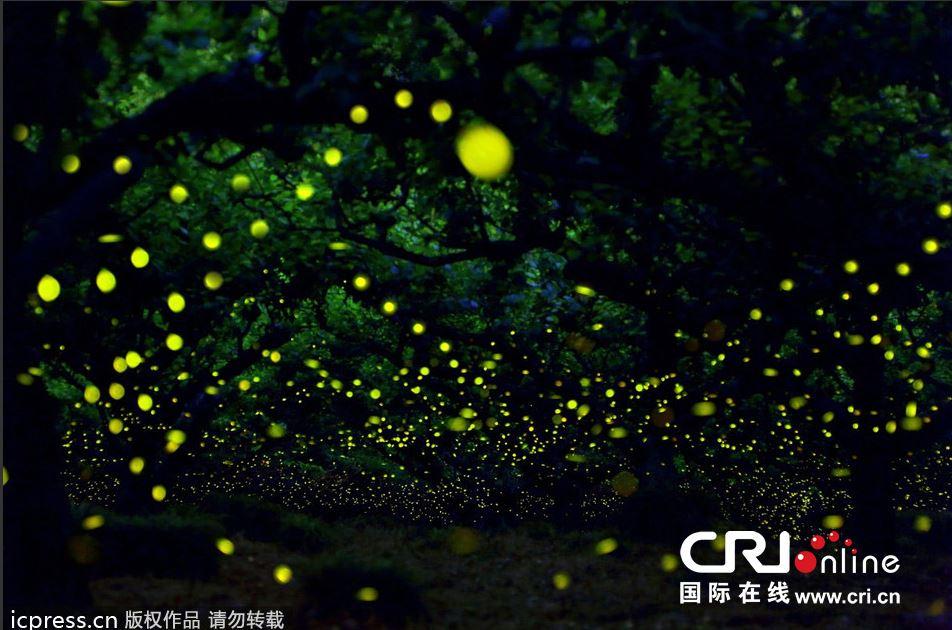 日本萤火虫森林似幻境
